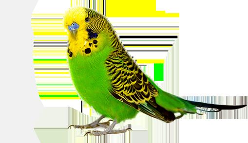 papagáj